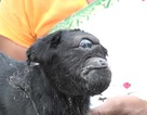 Dê một mắt được dân làng tôn thờ ở Ấn Độ