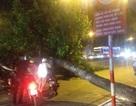 Hà Nội: Cây xà cừ đổ ngang đường, giao thông ùn tắc kéo dài
