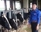 Chàng trai 9X kiếm hàng trăm triệu đồng nhờ nuôi bò sữa