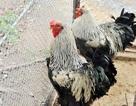"""Độc đáo gà """"khổng lồ năm ngón"""" giá 30 triệu đồng ở Hà Nội"""