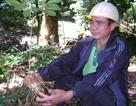 Vụ mất trộm 500 gốc sâm Ngọc Linh: Bắt thêm 2 nghi can