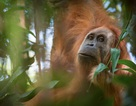 Tìm ra loài đười ươi mới sống cùng thời với tổ tiên loài người