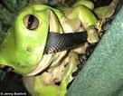 Ngược đời khoảnh khắc ếch cây ăn thịt rắn độc
