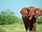 Khách du lịch bị dẫm chết khi mải chụp ảnh voi