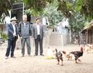 Bước đầu xác định nguyên nhân gà Đông Tảo chết