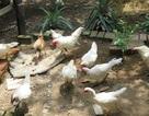 Đàn gà rừng đột biến gen 500 triệu đồng, đại gia Thái mua không bán