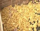 Thu giữ hơn 2000 gà, vịt giống nhập lậu Trung Quốc