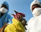 Tạm ngừng nhập khẩu gia cầm từ Mỹ vì dịch cúm gia cầm