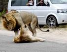 """Cặp sư tử thản nhiên """"làm chuyện ấy"""" gây tắc đường"""