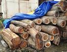 Lâm tặc đột nhập rừng thiêng đốn hạ 5 cây gỗ quý