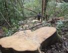 Lâm tặc tàn phá rừng - Những hình ảnh ngổn ngang tại hiện trường