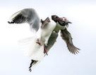 Tuyệt đẹp hình ảnh hải âu tranh mồi trên không