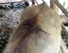 Hàng loạt trâu chăn thả bị chém