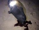 Bình Thuận: Chú hải cẩu lên bờ đùa giỡn với người dân đã bị đánh chết