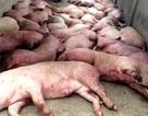 Đề nghị tiêu hủy toàn bộ gần 4.000 con heo bị tiêm thuốc an thần