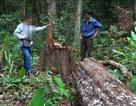 Yêu cầu nâng mức kỷ luật với các cán bộ kiểm lâm để mất rừng
