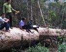 Công an thuê... nhầm lâm tặc chở gỗ tang vật
