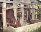 """Vì sao 30 con bò giống hỗ trợ lại được """"bán"""" cho hộ nghèo?"""