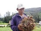 Người trồng hành Lý Sơn lo lắng vì sâu bệnh