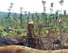 Vì sao nhiều nơi đất rừng vẫn bị tái chiếm?