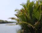 Quảng Ngãi cần cân nhắc cẩn thận trước khi phá bỏ 50 ha rừng dừa nước
