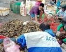 Phú Yên công bố nguyên nhân tôm hùm chết hàng loạt