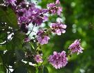 Hà Nội tím biếc mùa hoa bằng lăng