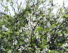 Níu giữ vẻ đẹp hoa mận Mộc Châu cuối mùa