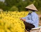 """Cúc """"tiến vua"""" vàng rực cánh đồng ở Hưng Yên"""