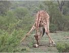 Cảnh hiếm gặp: Hươu cao cổ bị bắt gặp đang gặm đầu lâu của một con trâu