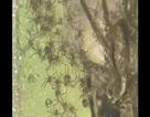 Rùng mình cảnh 200 nhện thợ săn bò quanh mẹ khổng lồ đòi ăn