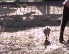 Video: Khỉ suốt ngày đi theo gà để chăm bẵm, ấp iu