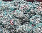 Bắt giữ 15 tấn vỏ hàu cấy giống nhập lậu