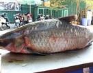 """Cá trắm """"khủng"""" 42 kg từ hồ Thác Bà về Hà Nội"""