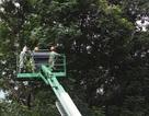 Hà Nội bắt đầu cắt tỉa hàng cây xanh trên đường Kim Mã