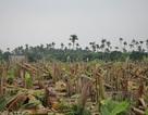 Công an Hải Phòng thông tin về vụ đốn gục hàng nghìn cây chuối