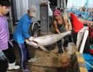 Cá ngừ đại dương bất ngờ tăng giá mạnh vào đầu năm 2017