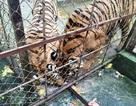 Vụ hổ vồ rách chân trẻ: Nuôi nhốt hàng chục con hổ sát khu dân cư
