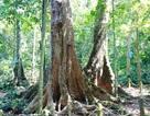 """Cây chò ngàn năm đang """"chết dần chết mòn"""" trong rừng Cúc Phương"""