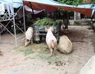 Dân Thủ đô nuôi lợn trong nhà, đánh cá giữa đường