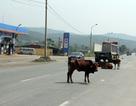 """Trâu bò vẫn nghênh ngang """"thách thức"""" ô tô trên quốc lộ!"""