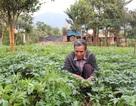 Lâm Đồng: Mê trồng dược liệu, lão nông kiếm nửa tỷ đồng mỗi năm
