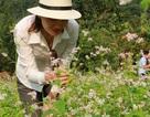 """Vườn tam giác mạch """"có 1 không 2"""" hút hồn du khách ở Ninh Bình"""