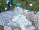 Gần 6.000 con lợn chết trong lũ được tiêu hủy như thế nào?