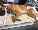 Chó nghiệp vụ dũng cảm đỡ đạn cho cảnh sát