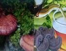 Nấm lim xanh: Dược liệu quý từ núi rừng Quảng Nam