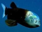 Kỳ lạ loài cá có hộp sọ trong suốt