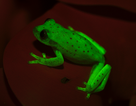 Phát hiện ra loài ếch có khả năng phát sáng đầu tiên trên thế giới