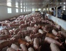 """""""Giải cứu"""" lợn thịt: Các địa phương sốt sắng vào cuộc"""
