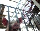 Hơn 1.000 con lợn chết sau bão số 10